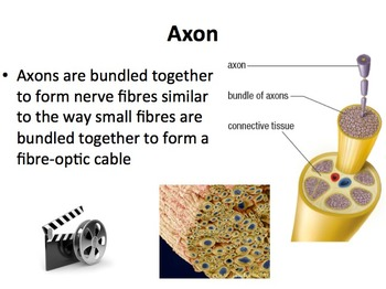 The Nervous System - Senior Biology Lesson Package