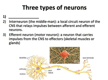 The Nervous System - Senior Biology Lesson Package