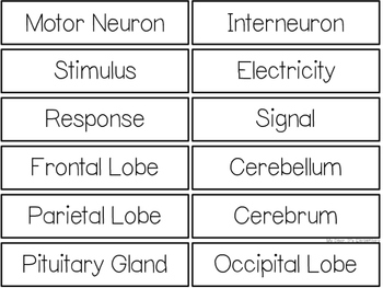 The Nervous System {WORD WALL}