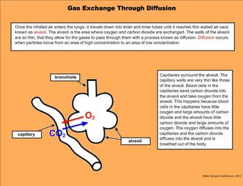 The Respiratory – A Fifth Grade PowerPoint Introduction