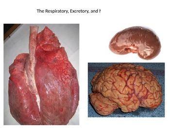 The Respiratory, Excretory, and Nervous Systems