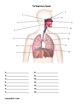 The Respiratory System Quiz or Worksheet