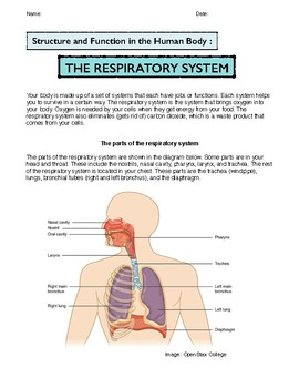 The Respiratory System: Structure and Function