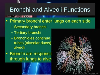 The Respiratory System Structures