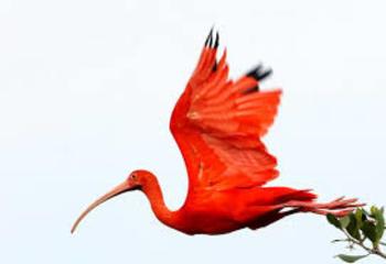 The Scarlet Ibis Crossword Puzzle