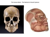 The Skeletal & Muscle Systems