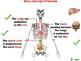 The Skeletal System - Bones - NOTEBOOK Gr. 3-8