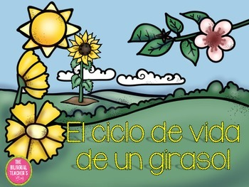 The Sunflower Lifecycle in Spanish