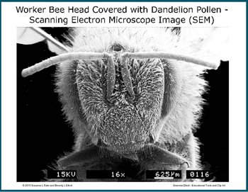 The Tiny World of Honeybees in a Dandelion Patch with SEM Images