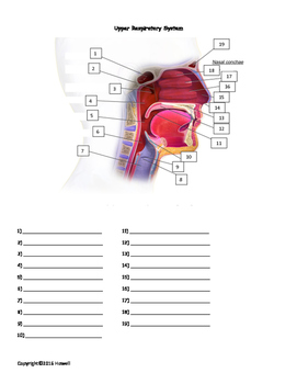 The Upper Respiratory System Quiz or Worksheet