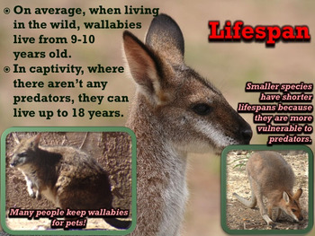 Wallaby - PowerPoint & Activities