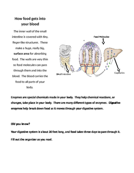The churning machine - Digestive System Activity guide