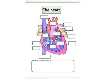 The heart worksheet