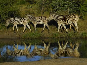 Three Zebras Photograph- In their natural habitat of Africa