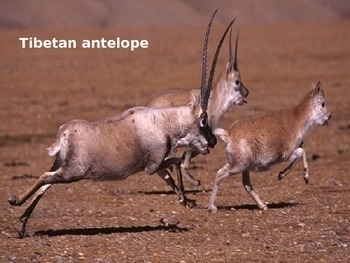 Tibetan Antelope - Powerpoint - Information Facts Pictures