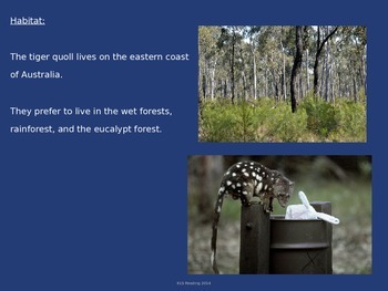 Tiger Quoll - Endangered Animal - Power Point Information Facts Pictures