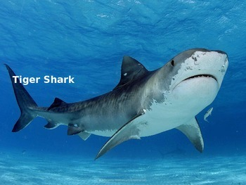 Tiger Shark - Power Point - Information Facts Pictures History