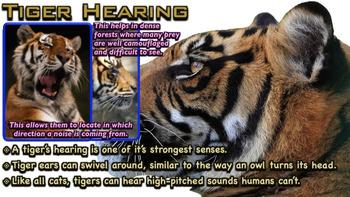 Tigers - PowerPoint & Activities