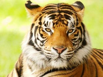 Tigre, letter T, prek, tigers