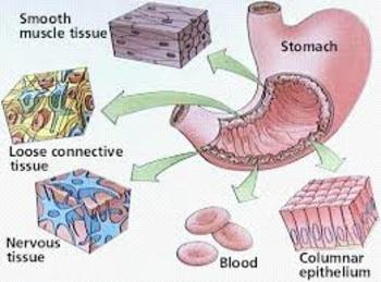 Tissue Level Organization