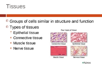 Tissues Notes PPT
