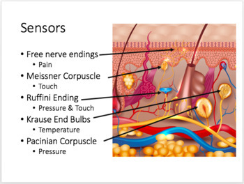 Tissues and Skin: Histology PPT Notes