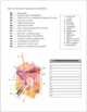 Tissues and Skin: Histology Review Worksheet