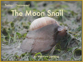 Today I Discovered The Moon Snail