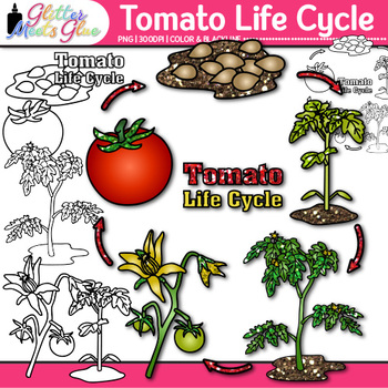 Tomato Plant Life Cycle Clip Art | Summer Plant Graphics for Science Activities