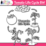 Tomato Plant Life Cycle Clip Art   Summer Plant Graphics for Science B&W