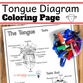 Tongue Diagram.  Sense of Taste. Nervous System Coloring Pages.