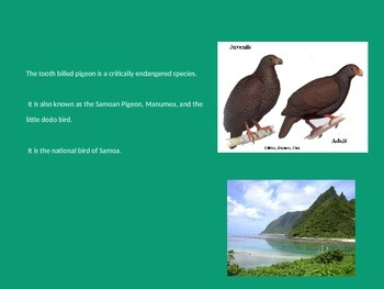 Tooth Billed Pigeon - Power Point Extinct Endangered Facts Information Pictures