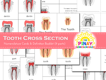 Montessori 3 Part Cards Tooth Cross Section