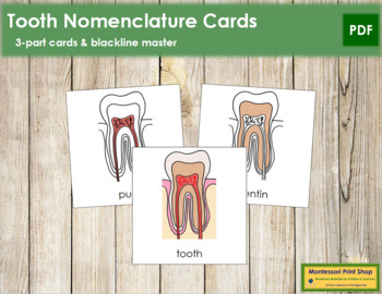 Tooth Nomenclature Cards
