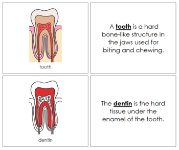 Tooth Nomenclature Book (Red)