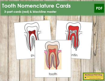 Tooth Nomenclature Cards (Red)