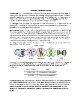 Popsicle Stick Chromosomes