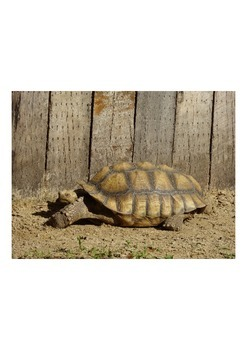 Photo Product- Tortoise