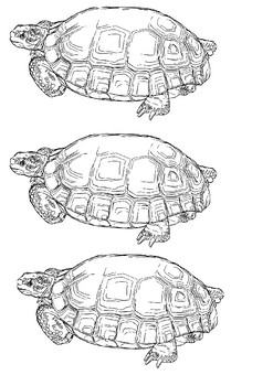 Tortoise Picture Pack