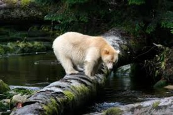 Touching Spirit Bear Chapter 3-5 Scavenger Hunt and Crossword Puzzle