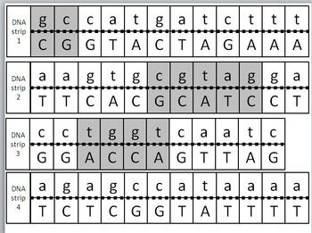 Transcription and Translation Model Activity