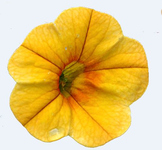 Transparency: photograph of yellow flower