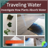 Traveling Water in Plants:  Experiment for Kindergarten and First Grade