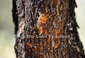 Tree Bark and Sap Stock Photo #156