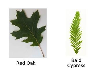 Tree Flash Cards