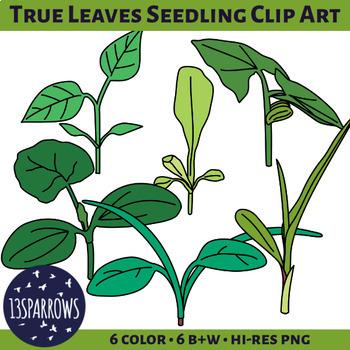 True Leaves Seedling Clip Art