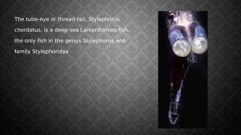 Tube Eye Fish