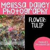 Tulip Photograph {Pink}