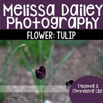 Tulip Photograph {Purple}