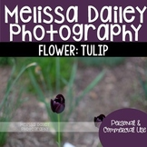 Tulip Photograph {Purple}